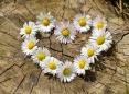 daisy-712892_1280